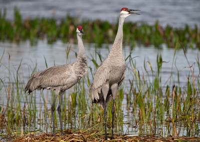 Mated Sandhill Cranes on the Nest