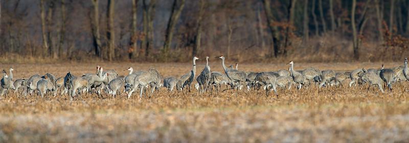 Group Photo - Sandhill Cranes at Jasper Pulaski Wildlife area