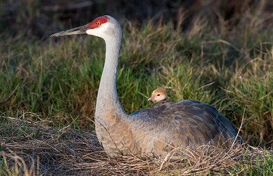 Taking a look at the world - Sandhill Crane Nest
