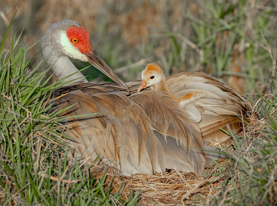Mom & her baby - Sandhill Cranes on the nest