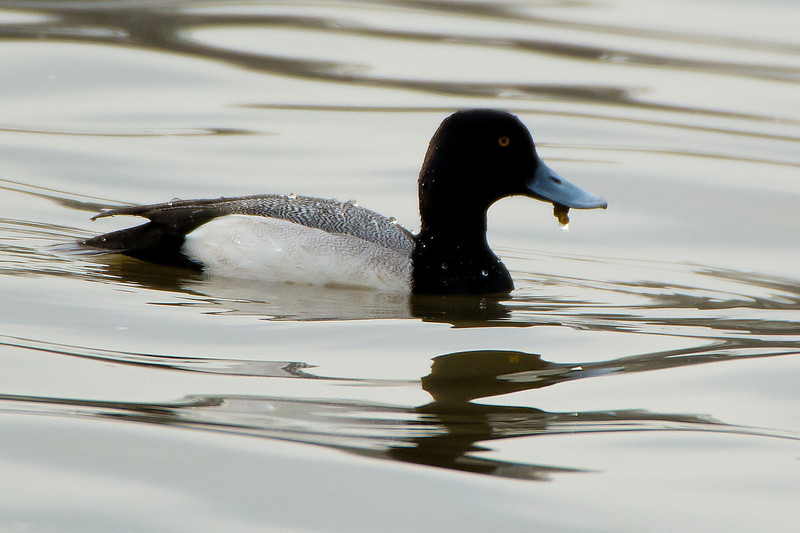 Greater Scaup (Aythyaq marilaq) Stillwater, NY 4/14