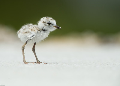 Snowy Plover Chick