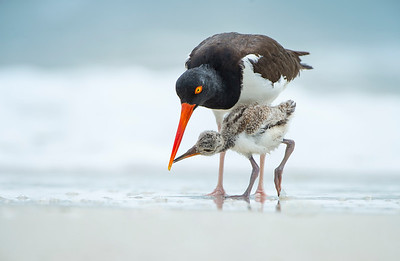 Mealtime at the beach - Oystercatcher feeding her chick