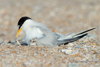 Least Terns - Peeking out