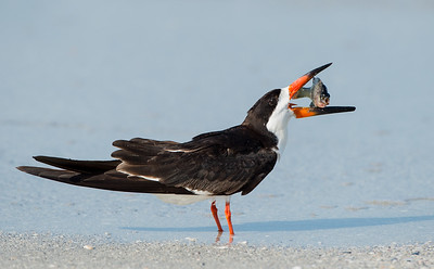 Catch of the Day - Black Skimmer