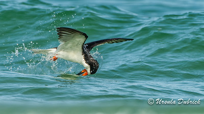 Fishing - Black Skimmer