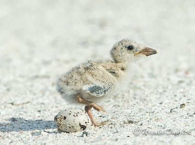Stepping Over The Egg - Black Skimmer Chick