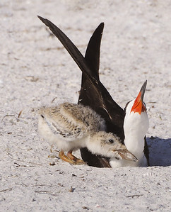 Staying close to mom - Black Skimmer with chick