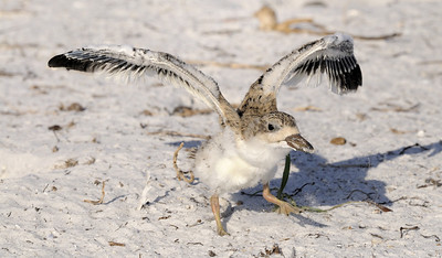 Spreading my wings - Black Skimmer chick trying out it's wings