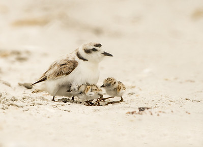 Snowy Plover Chicks - Trying to hide under mom