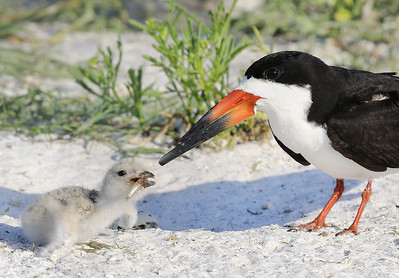 Fish for Dinner - Black Skimmers - Mom had just given her chick a portion of a fish