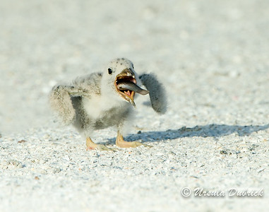 Down the hatch - Black Skimmer Chick