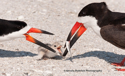 Competition for food - Both the adult and baby Black Skimmer are trying to get the fish just brought in - Indian Shores, FL