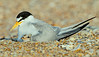Protected - Least Tern chick with mom
