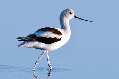 American Avocet - Merritt Island National Wildlife Refuge - Merritt Island, FL