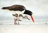 American Oystercatcher and chick