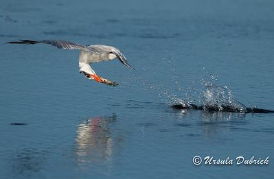 Tern with fish - Viera Wetlands, Viera, FL