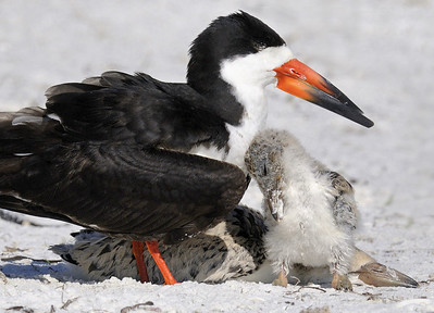 Leaning on Mom - Black Skimmers - One of the chicks is laying down sleeping, the other woke up and leaned on mom until it could walk away
