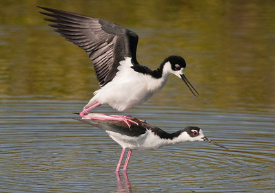Black-necked Stilts - Merritt Island National Wildlife Refuge - Titusville, FL