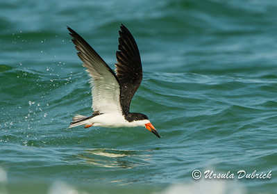 Skimming for fish - Black Skimmer