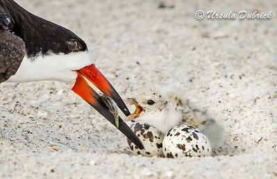 Black Skimmers - Chick being fed in the nest, leaning over the eggs