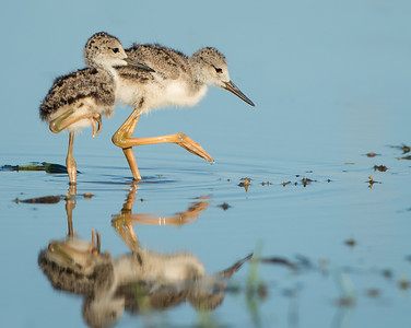 Baby Black-necked Stilts