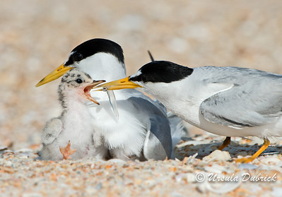 Least Terns - Breakfast for baby
