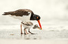 Oystercatcher Chick Being Fed