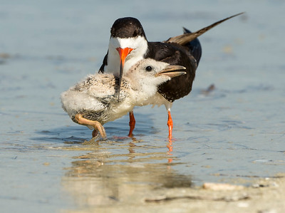 Black Skimmer with her chick