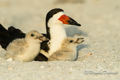 Black Skimmer with 2 babies