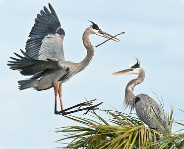 Great Blue Heron Landing with a stick he will offer to his mate for nest building - Viera Wetlands, Viera, FL