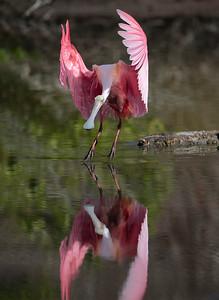 Soft Landing - Roseate Spoonbill