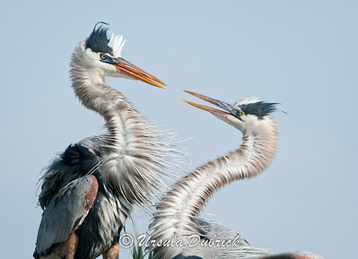 Great Blue Herons - Mated Pair