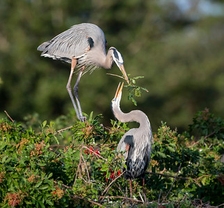 The Gift of a Branch - Great Blue Herons Nesting