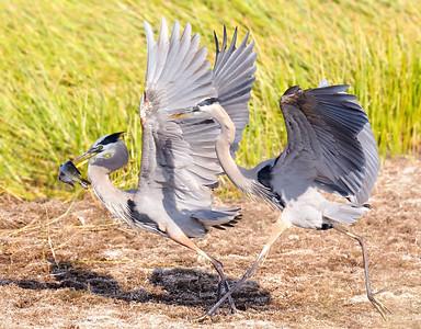 Not sharing this fish - Great Blue Herons - Viera Wetlands Viera, FL