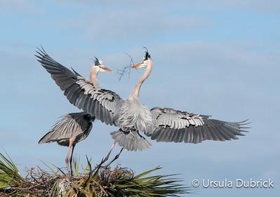 The Landing - Great Blue Herons - Viera Wetlands, Viera, FL