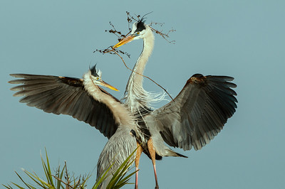 Presenting a Gift - Great Blue Herons Nesting