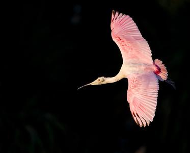 Pink Flight - Roseate Spoonbill