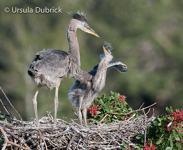 Great Blue Heron Babies - Approx. 14 days old - Venice Rookery, Venice, FL