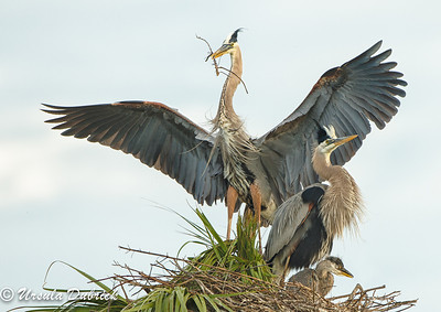 Family of Three- Great Blue Herons, Viera, FL