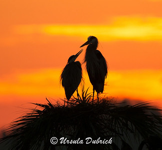 Great Blue Herons at Sunrise - Viera Wetlands, Viera, FL