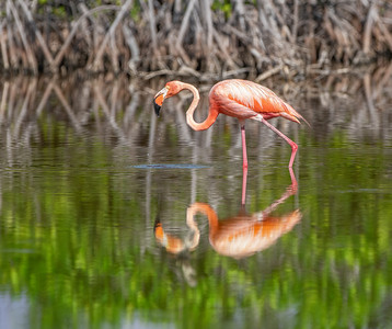 Flamingo Feeding in the Mangroves