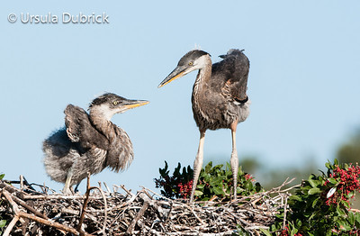 Great Blue Heron Siblings - Venice Rookery, Venice, FL