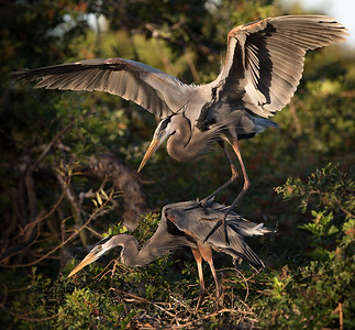Love at First Light - Great Blue Herons