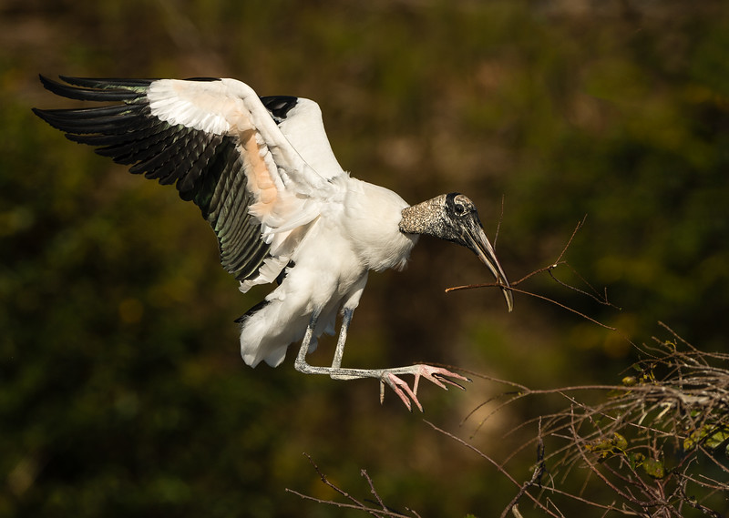 Wood Stork bringing in nesting material