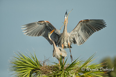 Nest Landing - Great Blue Herons, Viera, FL