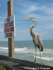No Outside Food - This Great Blue Heron was visiting the boardwalk at the Cocoa Beach Pier