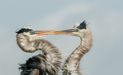 Bill Tapping - Great Blue Herons engaging in a mating ritual