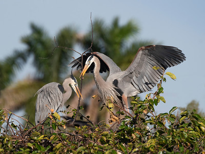 Joint Effort - Great Blue Herons Nesting