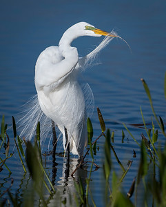 Great Egret - Viera Wetlands
